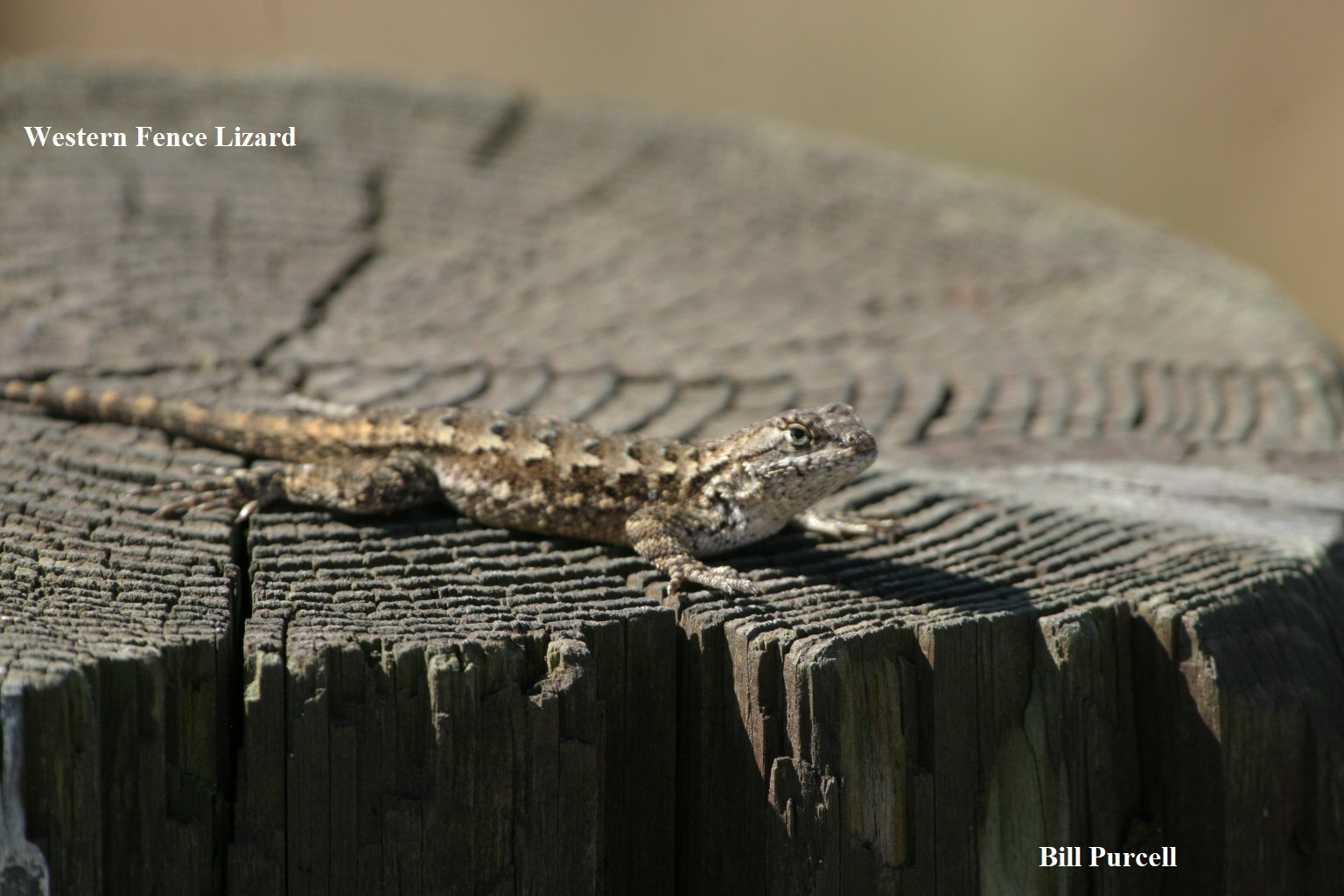 1 Western Fence Lizard Bill Purcell