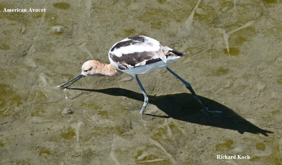 1 American Avocets Richard Koch