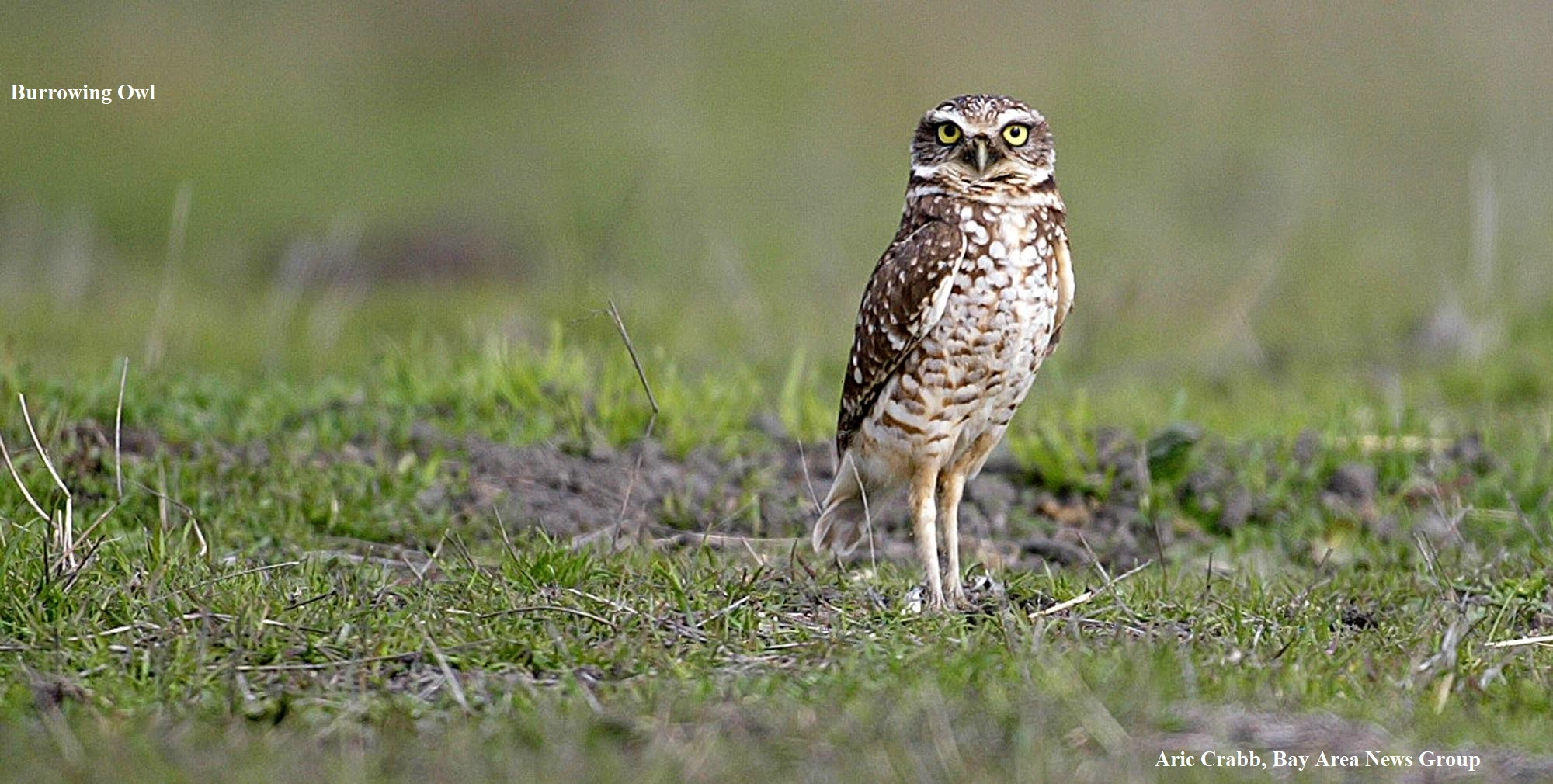 1 Burrowing Owl Bay Area News Group Aric Crabb
