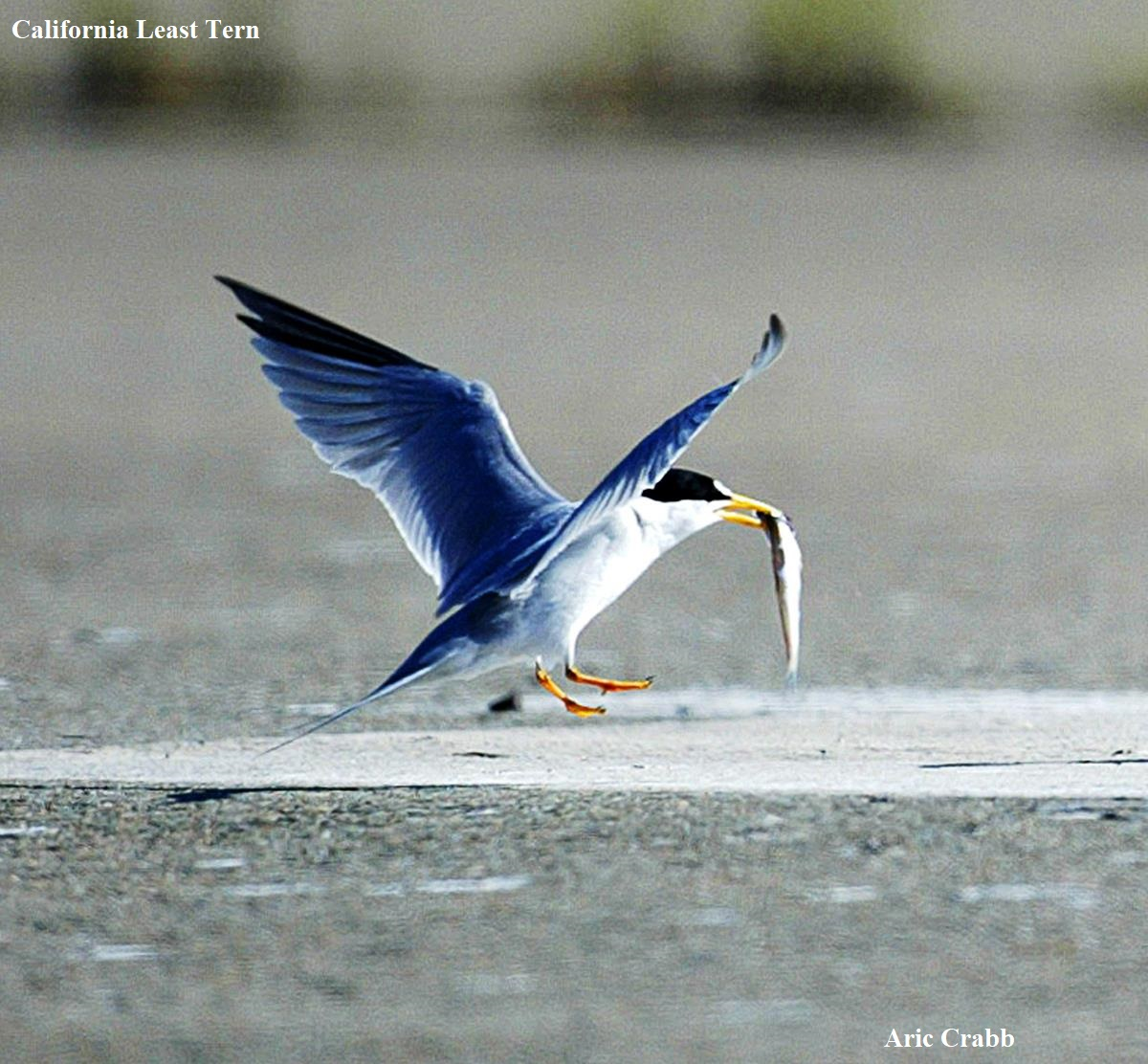 1 California Least Tern Aric Crabb