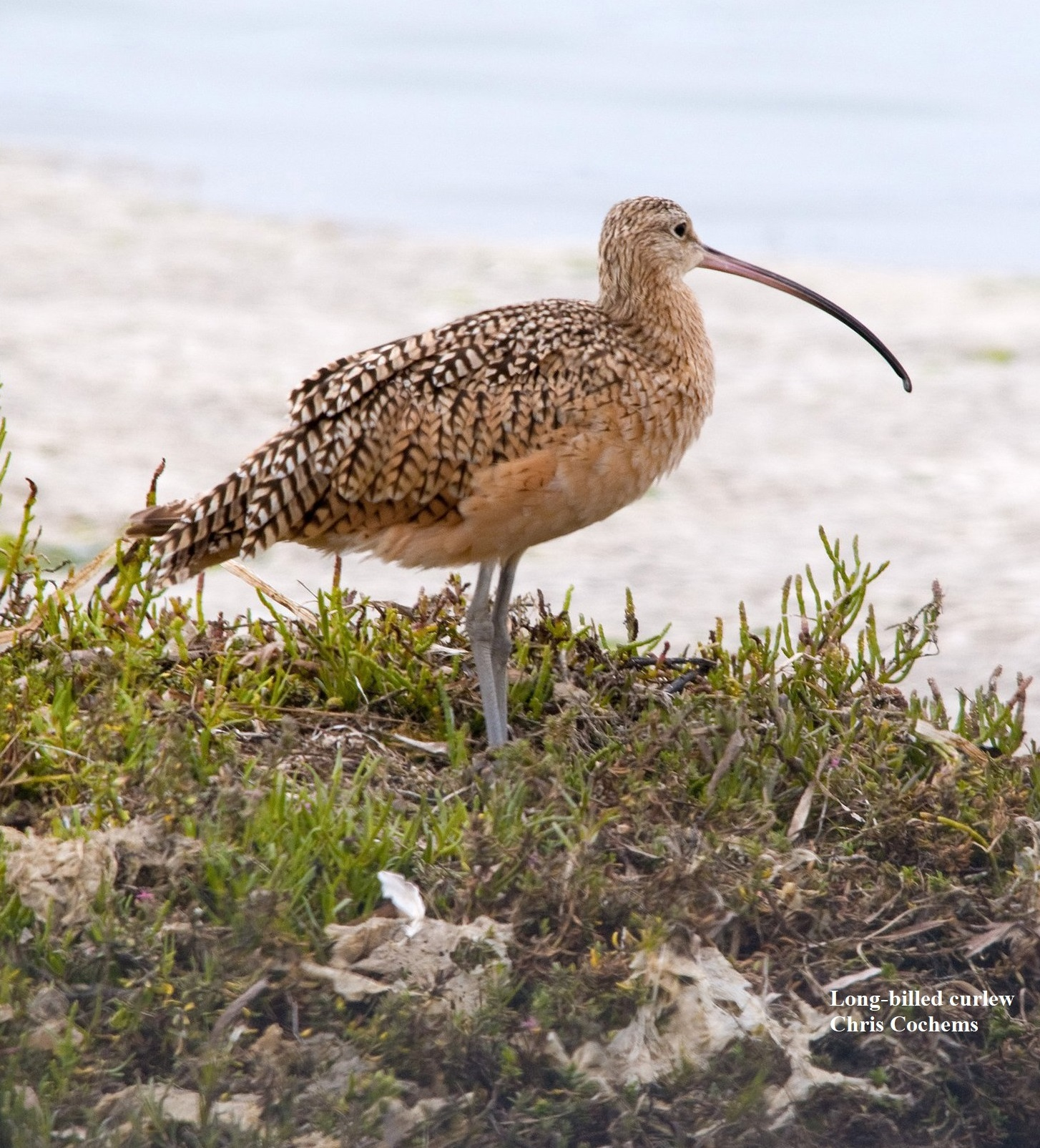 1 Long billed curlews Chris Cochems