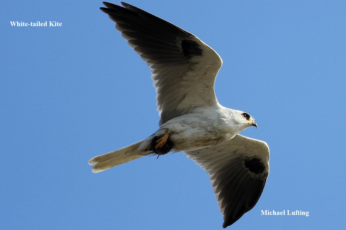 1 White tailed kite Michael Lufting