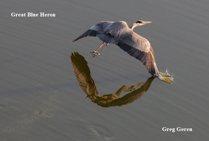 2 Great Blue Heron Greg Geren