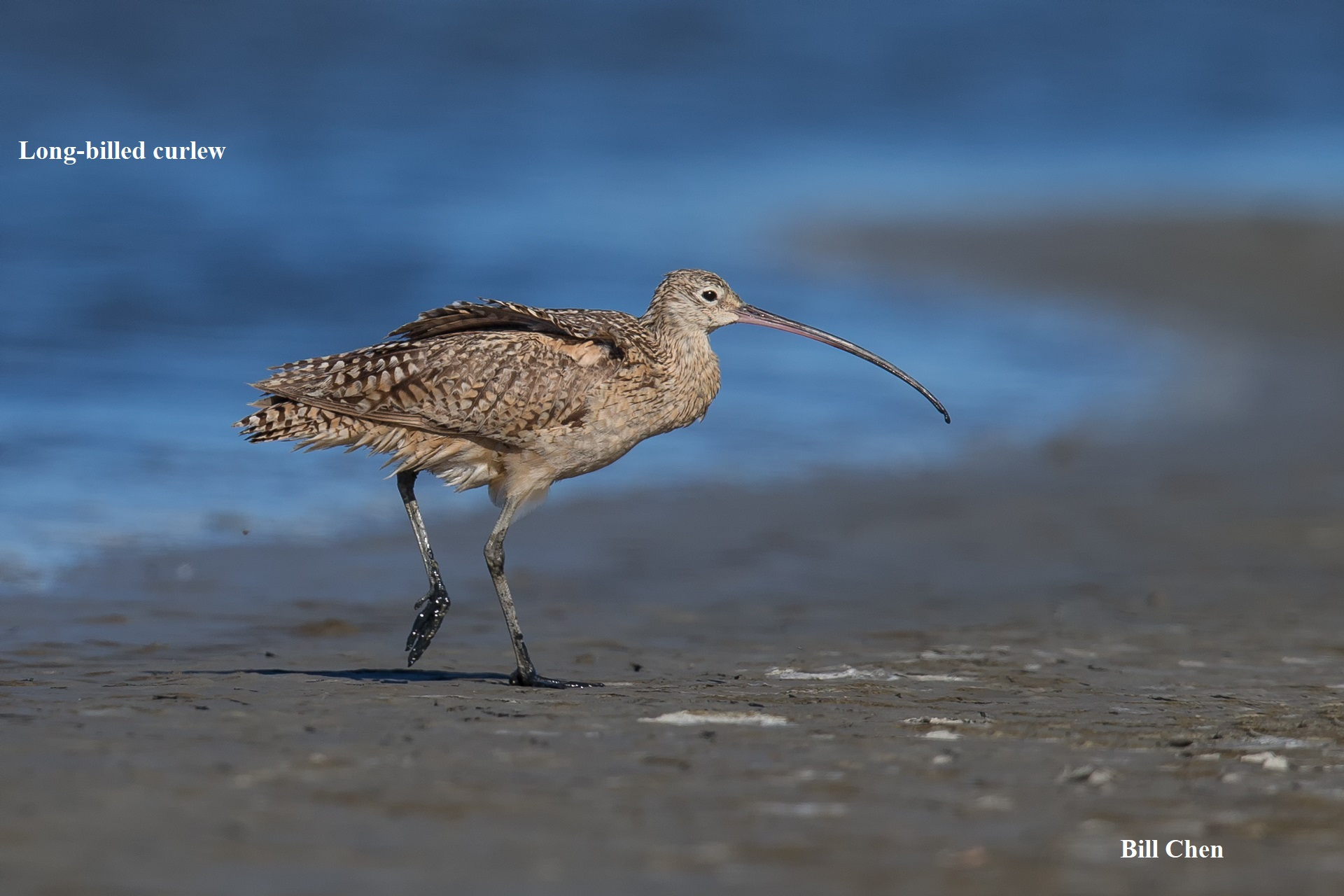 2 Long billed Curlew Bill Chen