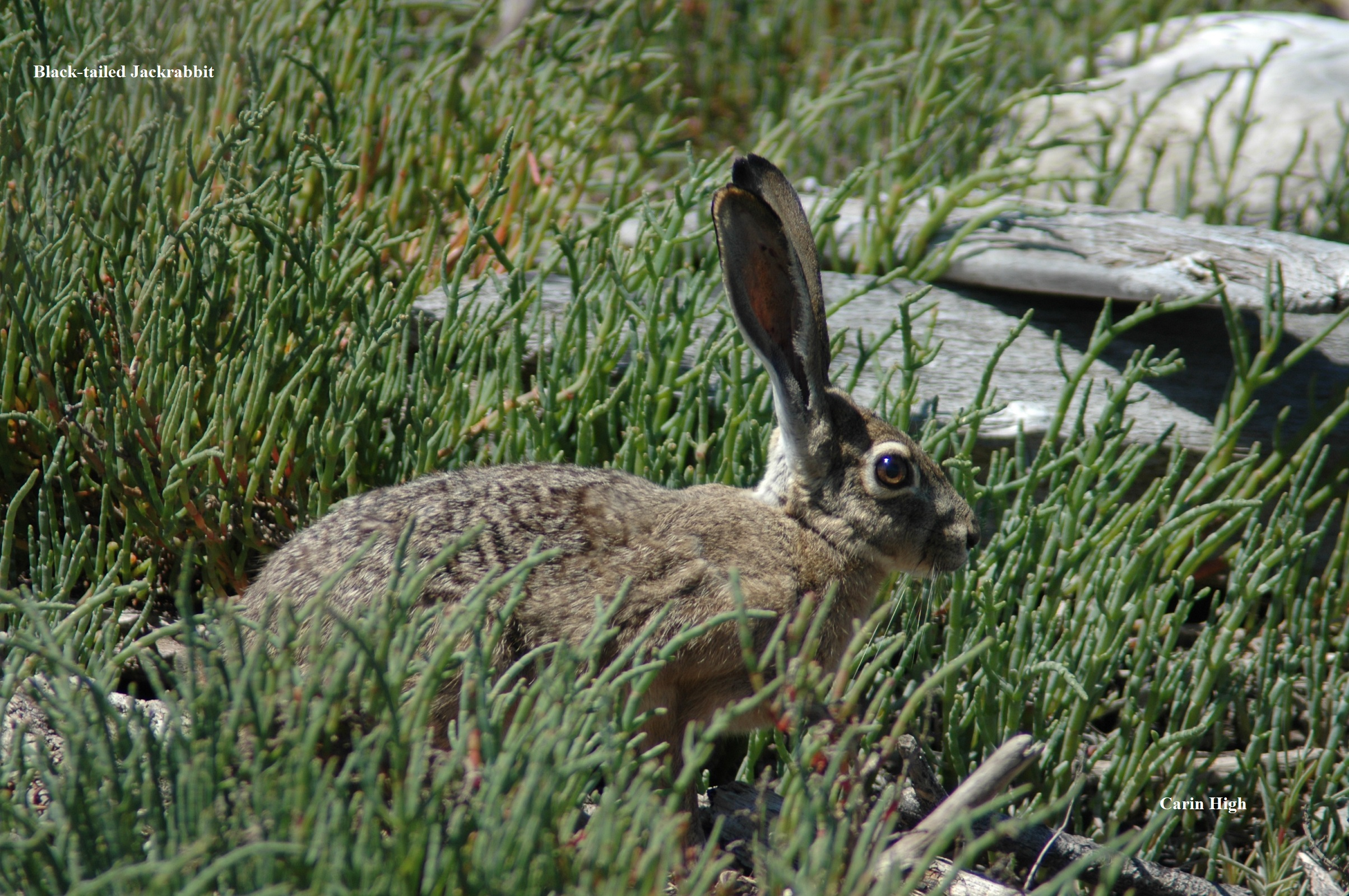 1 Black tailed Jackrabbit Carin High
