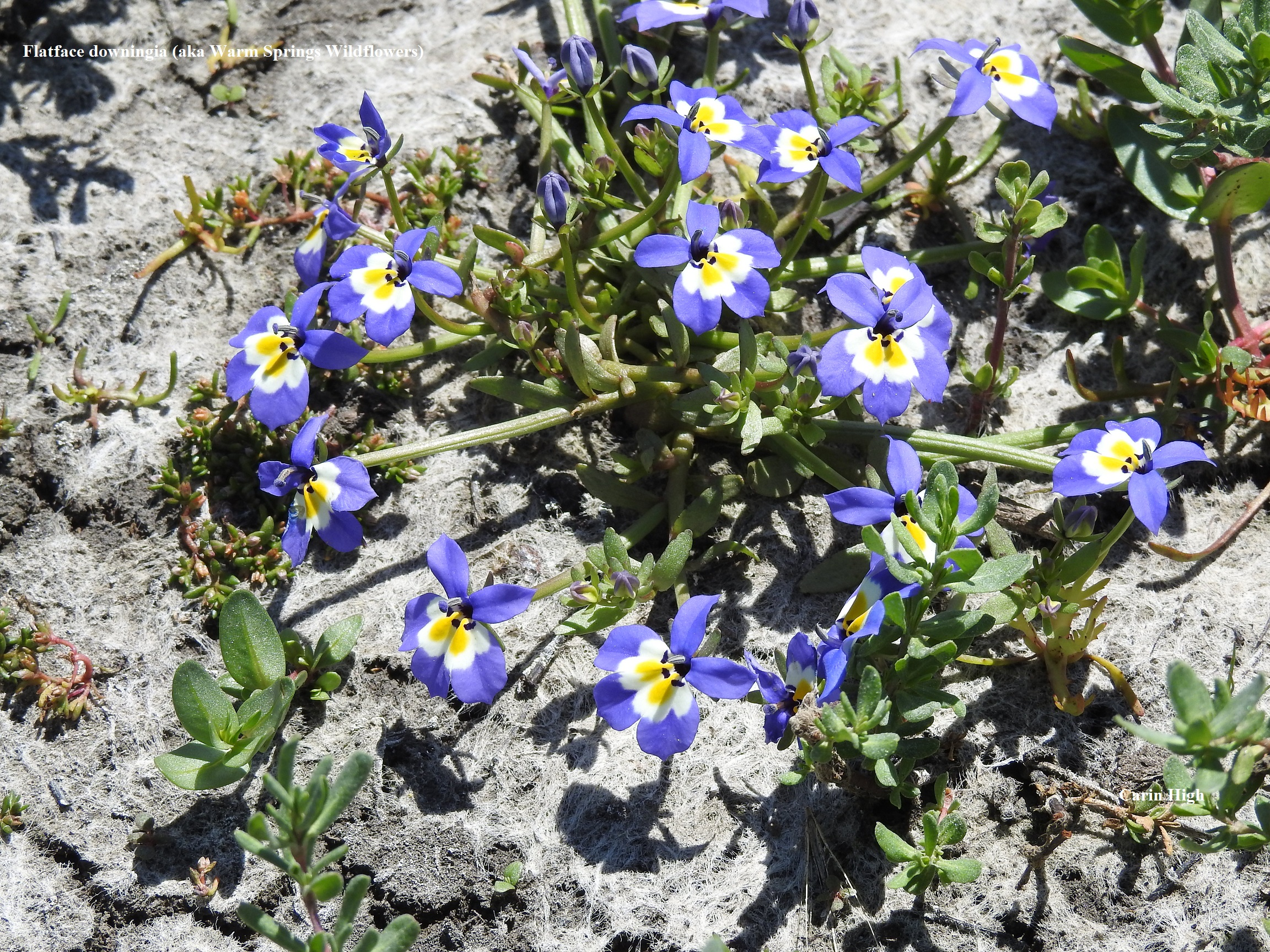 1 Flatface downingia aka Warm Springs Wildflowers Carin High